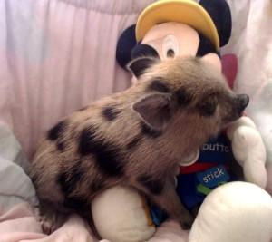 Фото, описание свиней мини-пигов породы Бергштрессер Книрт, характеристика для содержания дома, уход.