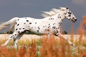 Фото, описание лошадей породы Кнабструппер, характеристика для разведения.
