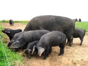 Фото, описание свиньи породы Крупная черная, характеристика для разведения и содержания.