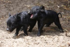 Фото, описание породы гвинейских свиней, характеристика мини-пига для домашнего разведения.