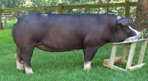 Фото, описание свиньи породы Польско-Китайская, характеристика для разведения и содержания.