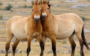 Фото, описание дикой лошади Пржевальской породы, характеристика для домашнего разведения и содержания.