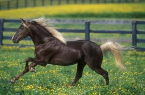 Фото, описание лошадей породы Роки Маунтин (скалистых гор), характеристика для разведения.