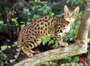 Фото, описание кошки породы Серенгети, характеристика для домашнего разведения и содержания.