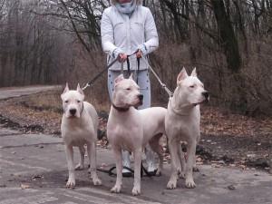 Фото, описание собак породы Аргентинский дог, характеристика для домашнего содержания и разведения.