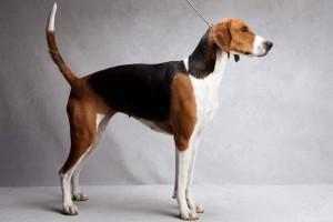 Фото, описание собак породы Американский фоксхаунд, характеристика для разведения и содержания.