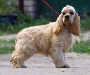 Фото, описание породы собак Американский кокер-спаниель, характеристика для домашнего разведения и содержания.