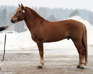 Фото, описание лошади Финской породы, характеристика для разведения.
