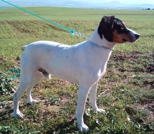Фото, описание собак породы Андалузский трактирный крысолов, характеристика для разведения.