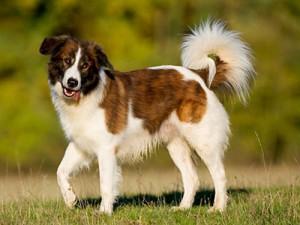 Фото, описание собак породы Аиди, характеристика для домашнего разведения и содержания.