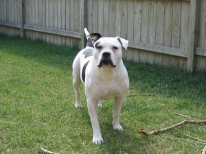 Фото, описание собак породы Алапахский чистокровный бульдог, характеристика для разведения дома.
