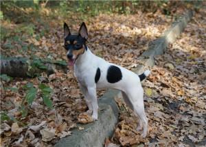 Фото, описание собак породы Американский той-терьер, характеристика для домашнего содержания и разведения.