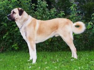 Фото, описание собак породы Анатолийская овчарка, характеристика для разведения и содержания дома.