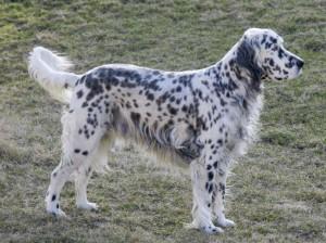 Фото, описание собак породы Английский сеттер, характеристика для домашнего разведения и содержания.