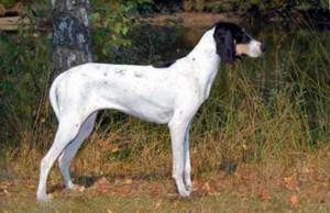 Фото, описание собак породы Арьежуа, характеристика для домашнего разведения и содержания.