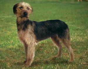 Фото, описание собак породы Боснийская грубошерстная гончая, характеристика для разведения и содержания.