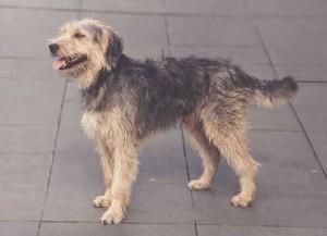 Фото, описание собак породы Боснийская грубошерстная гончая, характеристика для домашнего разведения и содержания.