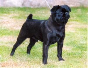 Фото, описание собак породы Брабантский гриффон, характеристика для домашнего разведения и содержания.