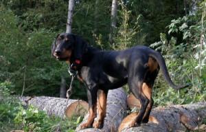 Фото, описание собак породы Брандл Бракк, характеристика для домашнего разведения и содержания.