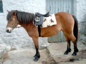 Фото, описание пони породы Эксмурские, характеристики.