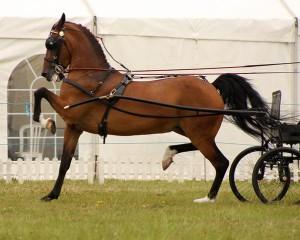 Фото, описание лошадей породы Хакнэ, характеристика.