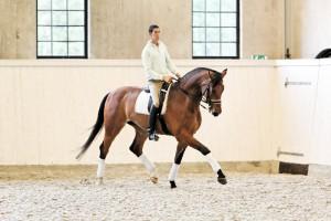 Фото, описание лошади породы Салерно, характеристика, рост, разведение.