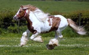 Фото, описание лошади Шайрской породы (Шайр), характеристика