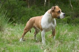 Фото, описание собак породы Американский стаффордширский терьер, характеристика для домашнего разведения и содержания дома.