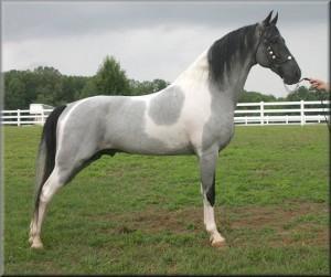 Фото, описание лошади породы Теннессийская прогулочная, характеристика.