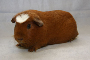 Photos, description guinea pig breed American Crested, characteristic