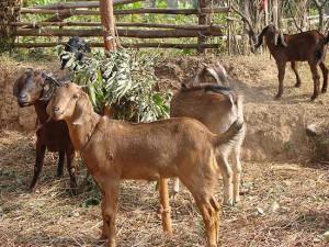 Фото, описание коз породы Бенадир, характеристика для домашнего разведения и содержания.