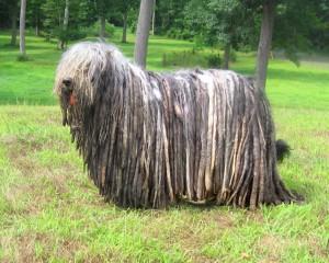 Фото, описание собак породы Бергамские пастушьи, характеристика для домашнего разведения.