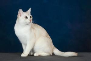 Фото, описание кошек породы Бурмилла короткошерстная, характеристика для домашнего разведения и содержания.