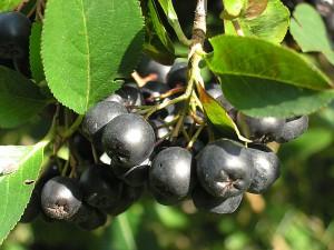 Фото, описание рябины черноплодной, посадка возле дома.