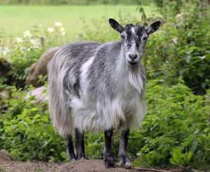 Фото, описание коз породы Финский Ландрас, характеристика.