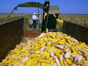 Фото, опис процесу збирання врожаю кукурудзи, технологія.