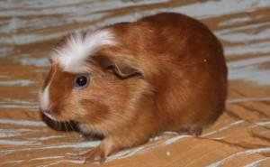 Фото, опис морської свинки породи Лайкленд, характеристика для домашнього розведення і утримання.