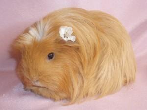 Описание, фото морских свинок породы Коронет, характеристика для домашнего разведения и содержания.