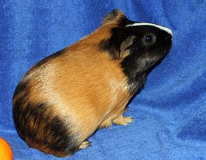 Фото, описание морской свинки породы Сатиновая гладкошерстная, характеристика для домашнего разведения и содержания.