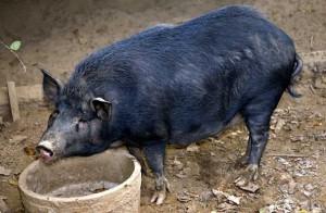Фото, описание свиней острова Оссабо, характеристика породы для домашнего разведения.