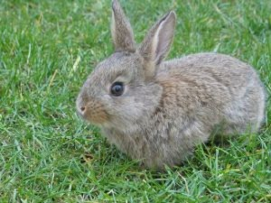 Фото, описание болезни кроликов - туляремия, как лечить в домашних условиях.