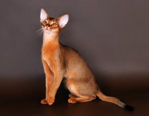 Фото, описание кошек породы Абиссинская, характеристика для домашнего разведения и содержания.
