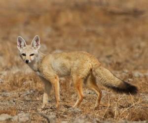 Фото, описание африканской лисицы. Особенности жизни, характеристика.