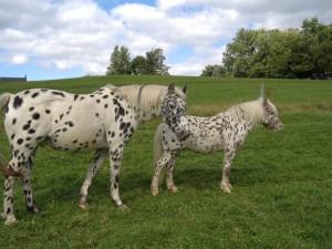 Американська порода верхового коня, характеристика, розведення, утримання поні та фото.