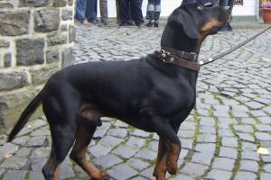 Фото, описание собак породы австралийский гладкошерстный бракк, характеристика для домашнего разведения и содержания.