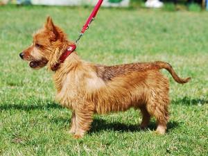 Фото, описание собак породы Австралийский терьер, характеристика для домашнего разведения.