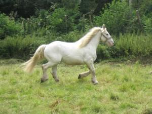 Фото, описание лошадей породы Бардиджано, характеристика для домашнего разведения и содержания.