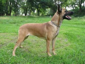 Фото, описание собак породы Бельгийская овчарка малинуа, характеристика для домашнего разведения и содержания.