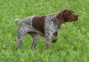 Фото, описание собак породы Бельгийский бракк, характеристика для домашнего разведения и содержания.