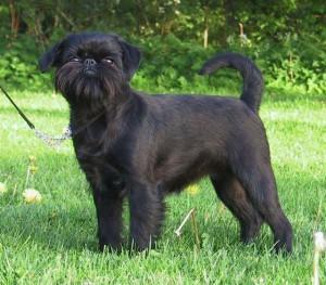 Фото, описание собак породы Бельгийский гриффон, характеристика для домашнего разведения и содержания.